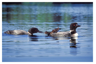 Loon Feeding Chick wooden jigsaw puzzle