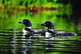 Loon Pair wooden jigsaw puzzle